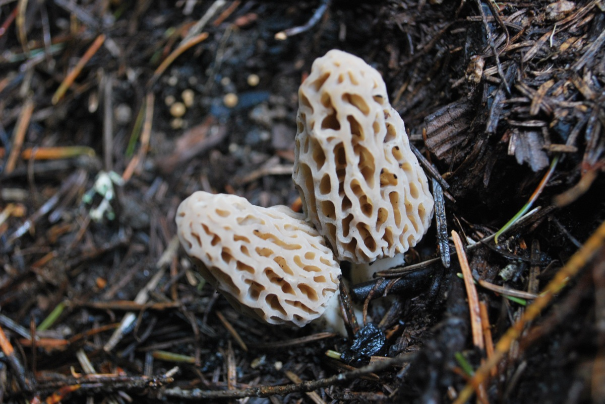 How to Find Wild Morel Mushrooms | Cast Iron