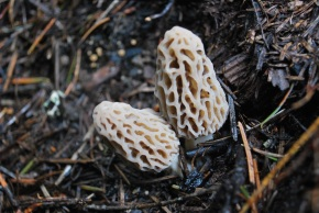 How to Find Wild Morel Mushrooms
